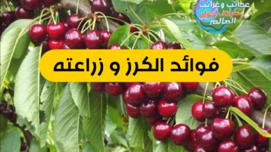 WhatsApp Image 2021 08 25 at 12.20.51 AM 390x220 - زراعة أشجار الكرز وفوائده